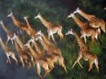 Giraffes from the African wildlife by Luo Hong